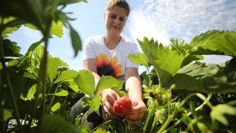 Erdbeeren auf dem Balkon (Foto: dpa Bildfunk, Picture Alliance)