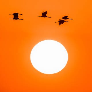 Kraniche fliegen vor der Sonne (Foto: AdobeStock - haiderose)