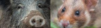 Wildschwein (links), Hamster (rechts) (Foto: picture alliance/Lino Mirgeler/dpa | picture alliance/Arne Dedert/dpa)