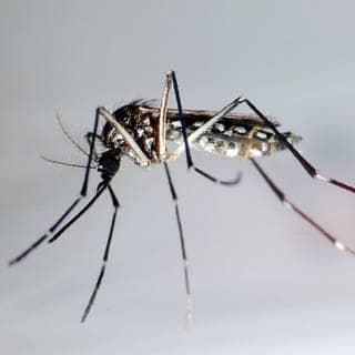 So sieht sie aus: die Asiatische Tigermücke. (Foto: dpa Bildfunk, picture alliance/Gustavo Amador/epa efe/dpa)