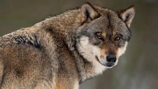Ein Wolf steht in einem Gehege im Wildpark: Bundestag hat beschlossen, dass Wölfe in der freien Wildbahn künftig leichter abgeschossen werden dürfen (Foto: picture alliance/Swen Pförtner/dpa)