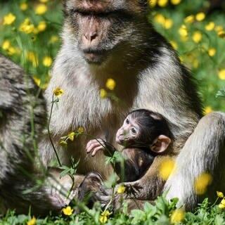 Nur drei Wochen alt: Eine Berberaffen-Mutter hält ihr Baby im Affenfreigehege in Salem im Schoß. (Foto: dpa Bildfunk, picture alliance/dpa   Felix Kästle)