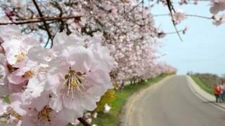 Mandelbäume blühen in Neustadt-Gimmeldingen: Das Mandelblütenfest wurde wegen Coronavirus abgesagt (Foto: dpa Bildfunk, Picture Alliance)