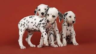 Dalmatiner (Foto: dpa/picture-alliance)